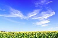 北海道 とうもろこし畑と青空