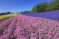 北海道 ファーム富田の彩りの畑