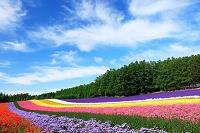 北海道 ファーム冨田 彩りの畑