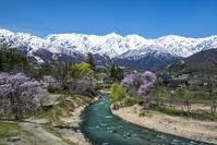 長野県 大出公園の桜