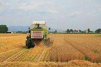 北海道 小麦の収穫作業