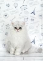 ペルシャ(チンチラ) 子猫