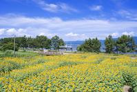 滋賀県 野洲市 琵琶湖畔 おいで野洲!ひまわり迷路