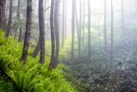 長野県 美ヶ原 シダと朝霧の林
