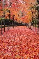 京都府 光明寺 雨あがりの敷き紅葉の参道