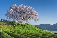 佐賀県 吉田の百年桜と茶畑