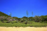 東京都 小笠原諸島 父島 ジョンビーチのアオノリュウゼツランと青空