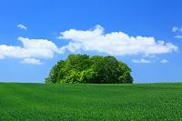 北海道 麦畑と新緑の木立