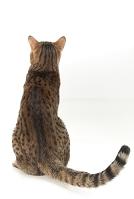 ベンガル 猫の座っている後ろ姿
