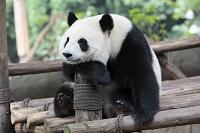 中国 四川省 パンダの昼寝