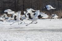 北海道 飛び立つタンチョウヅルの群れ