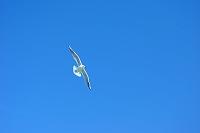 三重県 飛ぶユリカモメ