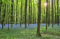 ベルギー ハレルボス ブルーベルの森