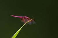 ピンク色のトンボ