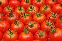 北海道 トマト
