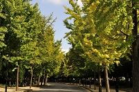 大阪府 大阪城公園イチョウ並木