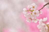 春 桜の花びら