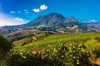 南アフリカ共和国 ケープタウン郊外 ブドウ畑