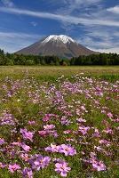 鳥取県 伯耆町 桝水高原のコスモスと新雪の大山