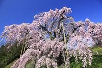三春の滝桜 福島県