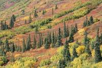 アラスカ スシトナ渓谷 タイガ