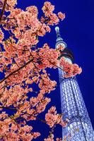 東京都 東京スカイツリーと河津桜のライトアップ