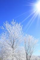 長野県 八島ヶ原湿原 霧氷の木