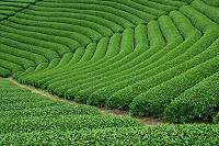 京都府  茶畑