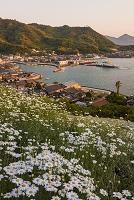広島県 因島 夕暮れの馬神除虫菊畑と重井港