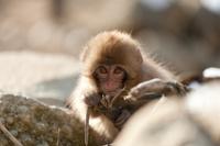 猿 地獄谷野猿公園
