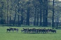 田園の鹿の群れ ハーグの森