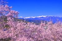 長野県 桜の高遠城址公園と中央アルプスの山々