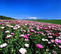 芍薬の花畑と大雪山連峰
