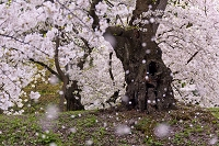 青森県 弘前城の桜