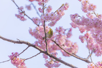 神奈川県 メジロと椿寒桜