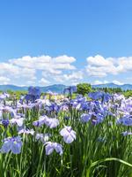 新潟県 アヤメ 瓢湖あやめまつり