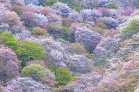 奈良県 吉野山のサクラ