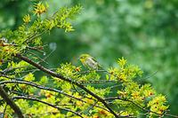 小雨にめげずオンコの木に留まるメジロ