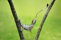 虫を食べるカメレオン