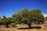 ギリシャ オリーブの木