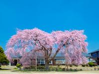 長野県飯田市 杵原学校のしだれ桜
