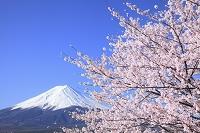 山梨県 河口湖 富士山と桜