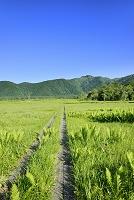 群馬県 ヤマドリゼンマイ群落と景鶴山