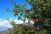 青森県 リンゴ畑のリンゴと岩木山