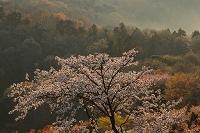 神奈川県 城山湖畔の桜