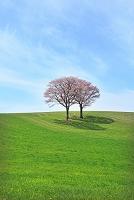 北海道 草原の兄弟桜