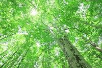 青森県 十和田市 日本一の巨木ブナ 木漏れ日