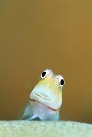 カエルウオの表情