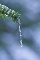 枝先の氷柱