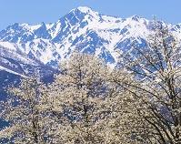 長野県 コブシと五竜岳